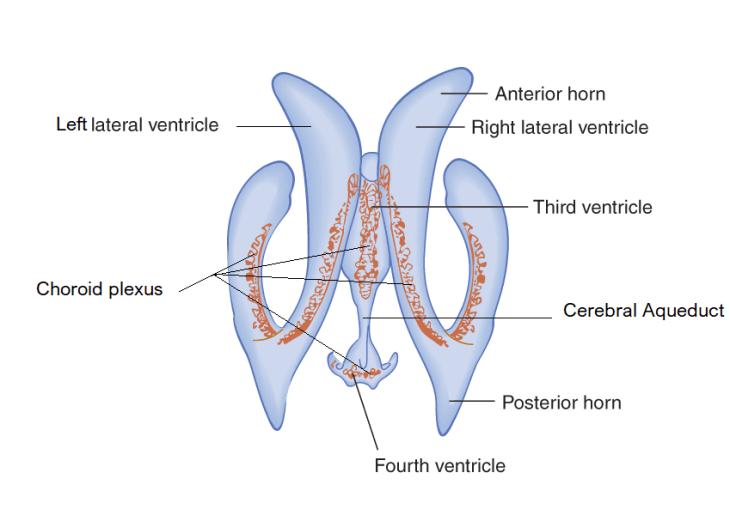 ventricles-and-choroid-plexus-compressor