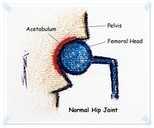 normal hip joint new1.JPG